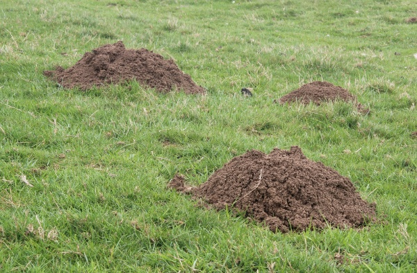 Moles, Voles, and the Resulting Holes: How to Deal With Landscape Pests | The Experienced Gardener