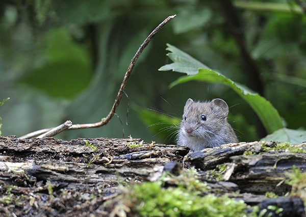 Can I Get Rid of Voles Myself?   The Experienced Gardener