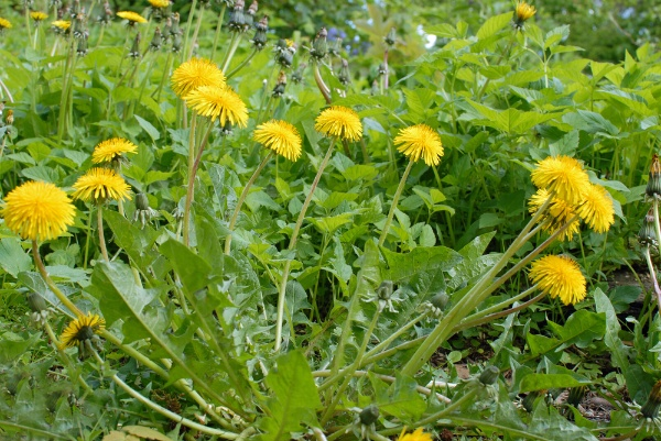The Weeds In My Yard Are Out of Control - What Is My Next Step? The Experienced Gardener