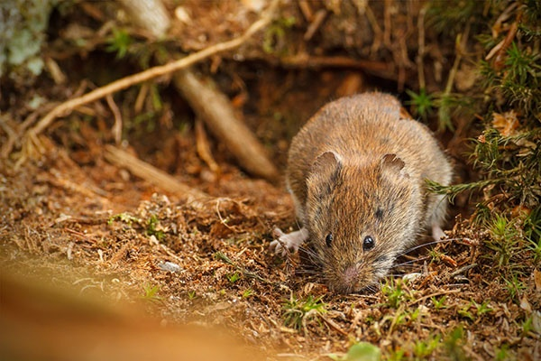 Common Signs of Vole Damage in Your Yard | The Experienced Gardener
