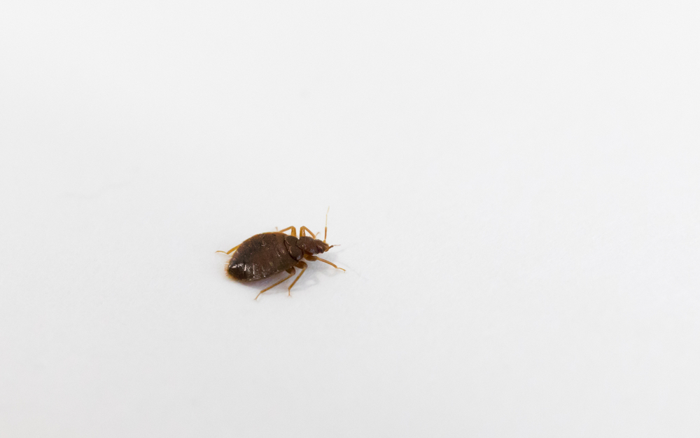 How To Check If Your Bed Bug Problem Is Drastic   San Joaquin Pest Control