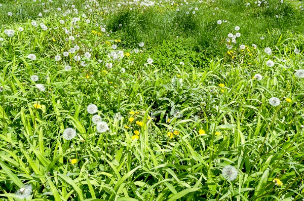 Lawn Care: Four Steps to Getting Rid of Weeds | The Experienced Gardener