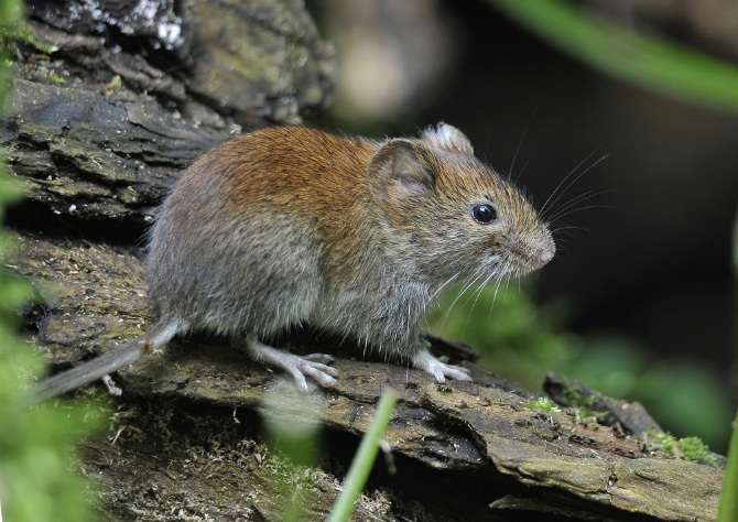 What are Voles? | The Experienced Gardener