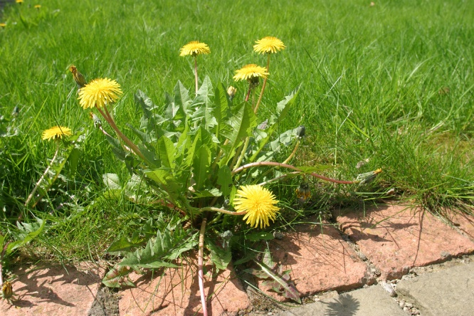 Tools You Can Use to Help Eliminate Weeds from Your Grass | The Experienced Gardener